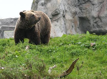 Kodiakbär im ZOOM